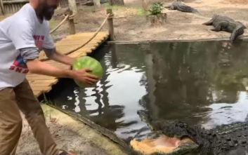 Αλιγάτορας διαλύει καρπούζι με μία δαγκωνιά