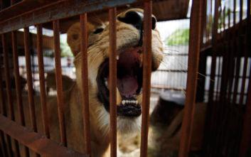 Ένας 8χρονος πάλεψε με ένα λιοντάρι και κατάφερε να γλιτώσει