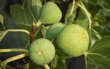 Έκλεψαν τέσσερις τόνους σύκα από αγροκτήματα στην Εύβοια