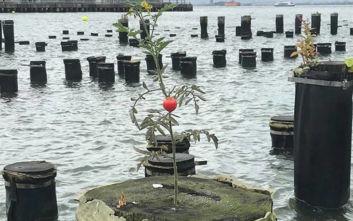 Ντομάτα φύτρωσε και μεγαλώνει στη μέση ποταμού της Νέας Υόρκης