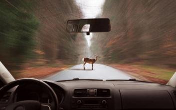 Τι να κάνετε αν πεταχτεί ζώο στον δρόμο