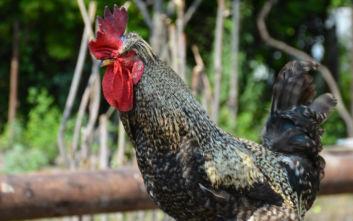 Δικαστική δικαίωση για κόκορα που μπορεί να λαλεί από νωρίς το πρωί