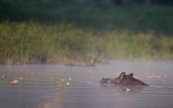 Το ζώο που διανύει τεράστιες αποστάσεις στο νερό και δεν φαντάζεστε