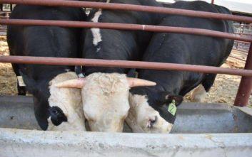 Επιστήμονες έφτιαξαν ταύρους χωρίς κέρατα
