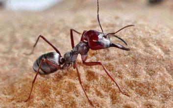 Ο Γιουσέιν Μπολτ των μυρμηγκιών ζει στη Σαχάρα