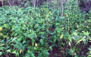 Δάσος από χασισόδεντρα εντόπισε η ΕΛΑΣ στις Σέρρες
