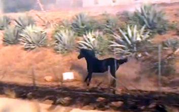 Καλιφόρνια: Άλογο εισβάλει στη φωτιά για να σώσει την οικογένειά του από τις φλόγες