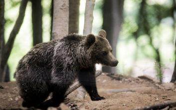 Αρκουδάκι «ζει» με τους κατοίκους στο Μικρό Πάπιγκο - Πάει σε κήπο σπιτιού για να φάει