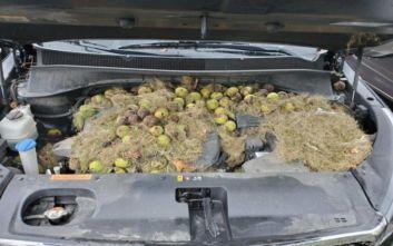 Σκίουροι αποθήκευσαν σε καπό αμαξιού 200 καρύδια
