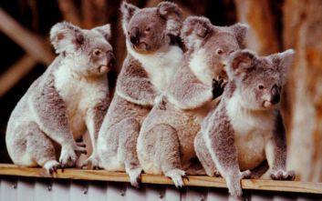 Αυστραλία: Φόβοι για εκατοντάδες νεκρά κοάλα από φωτιά στη Νότια Νέα Ουαλία
