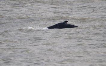 Μεγάπτερη φάλαινα νεκρή στον Τάμεση
