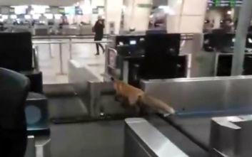 Μια αλεπού τρύπωσε και έκανε βόλτες σε αεροδρόμιο της Μόσχας