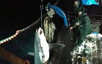 Καρχαρίας - αλεπού ψαρεύτηκε ανοιχτά της Καβάλας