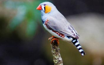 Τι έγινε όταν οι επιστήμονες «φύτεψαν» μνήμες στον εγκέφαλο ενός πουλιού