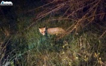 Αλεπού κάνει βόλτες στην Κοζάνη