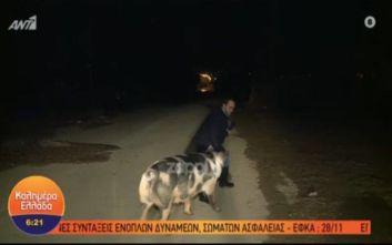 Γουρούνι κυνηγάει και δαγκώνει ρεπόρτερ του Παπαδάκη