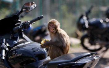 Τραγικός θάνατος για 4 μηνών βρέφος: Μαϊμού έριξε πέτρα στο κεφάλι του