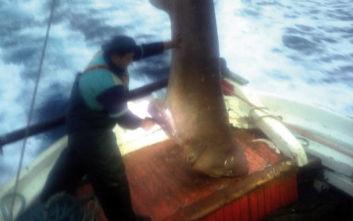 Καρχαριοειδές 400 κιλών πιάστηκε στα δίχτυα μηχανότρατας ανοιχτά της Σκιάθου