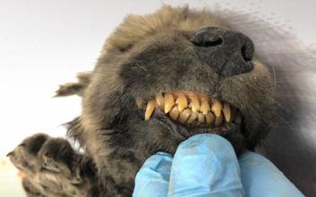 Σιβηρία: Βρέθηκε κουτάβι ηλικίας 18.000 ετών