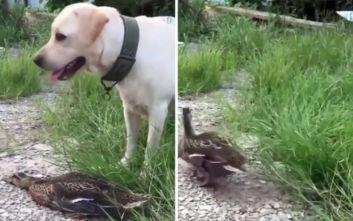 Όσκαρ ερμηνείας σε πάπια που κάνει την ψόφια για να γλιτώσει από σκύλο