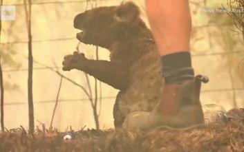 Το βασανιστήριο των ζώων στη φλεγόμενη Αυστραλία, γυναίκα έσωσε κοάλα που καιγόταν ζωντανό
