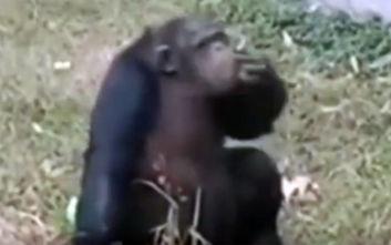 Θεριακλής χιμπαντζής κάπνιζε τσιγάρο που του πέταξαν επισκέπτες ζωολογικού κήπου
