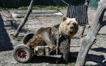 Από νεφρική ανεπάρκεια κατέληξε ο Ούσκο, το ανάπηρο αρκουδάκι που κινούνταν με αμαξίδιο