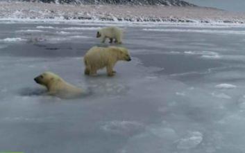 Πολικές αρκούδες παλεύουν να σταθούν σε λιωμένους πάγους