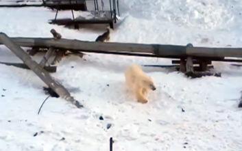Κλιματική αλλαγή: 56 πολικές αρκούδες έχουν συγκεντρωθεί στα περίχωρα χωριού της Ρωσίας