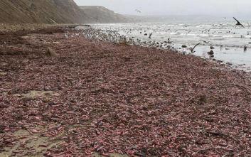 «Ψάρια-φαλλοί» ξεβράστηκαν στην Καλιφόρνια