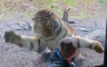 Βίντεο με τίγρη να... επιτίθεται σε αγόρι στο ζωολογικό κήπο: «Ο γιος μου ήταν το σημερινό μενού»
