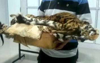 Ινδονησία: Εντόπισαν τέσσερα έμβρυα τίγρης σε βάζο