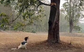 Ο εκπαιδευμένος σκύλος που σώζει τραυματισμένα κοάλα στις φωτιές της Αυστραλίας