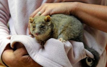 Αυστραλία: Μάχη με τον χρόνο για να σωθούν τα ζώα στο νησί Καγκουρό