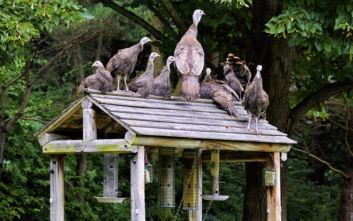 Ουγγαρία: Προς θανάτωση 50.000 γαλοπούλες εξαιτίας του ιού της γρίπης των πτηνών