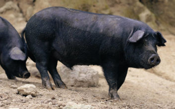 Το μαύρο γουρούνι του Δία «παλεύει» να επιβιώσει στη σύγχρονη αγορά