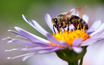 O λόγος που οι επιστήμονες παρακολούθησαν τις μέλισσες να κάνουν… εμετό