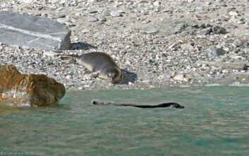 Οι ορφανές φώκιες Λένα και Νικόλ επέστρεψαν στα νερά του Αιγαίου