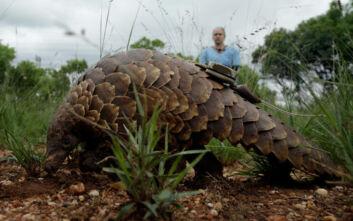 Κοροναϊός: O παγκολίνος είναι πιθανόν ο ξενιστής - Το ζώο που δέχεται το πιο ανελέητο κυνήγι στον κόσμο