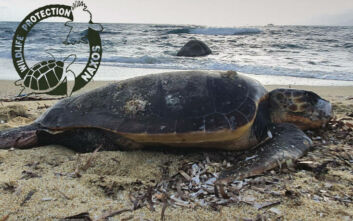 Θαλάσσια χελώνα σε παραλία της Νάξου βρέθηκε με τομή 5 εκατοστών στον λαιμό της