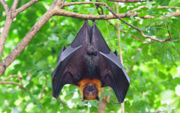 Πώς φιλοξενούν τόσους ιούς οι νυχτερίδες χωρίς οι ίδιες να νοσούν ποτέ;