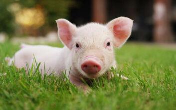Γουρούνια με ανθρώπινα κύτταρα είναι το μέλλον των μεταμοσχεύσεων