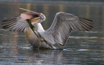 Τα νερά στη λίμνη της Καστοριάς ξεπάγωσαν κι αποκαλύφθηκαν νεκρά πουλιά κρεμασμένα και μπλεγμένα σε δίχτυα