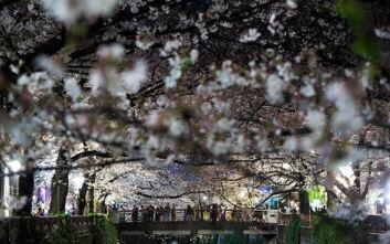 Κορονοϊός στην Ιαπωνία: «Οι κερασιές θα ανθίσουν και του χρόνου» - Στοκάρουν νουντλς οι Ιάπωνες