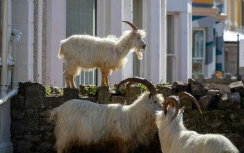 Κορονοϊός: Κατσίκες έκαναν κατάληψη σε πόλη φάντασμα της Ουαλίας