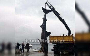 Ψαράς έπιασε στα δίχτυα του καρχαριοειδές 7 μέτρων