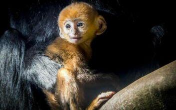 Γεννητούρια στον ζωολογικό κήπο της Γαλλίας, εν μέσω πανδημίας