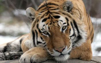 Κορονοϊός ΗΠΑ: Τίγρεις σε ζωολογικό κήπο βρέθηκαν θετικές – Δύο γάτες  έγιναν τα πρώτα κατοικίδια στη χώρα που μολύνθηκαν