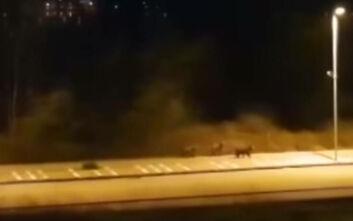 Ξεκίνησαν έρευνες για να εντοπιστούν οι αρκούδες που έκοβαν βόλτες στους δρόμους της Καστοριάς