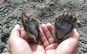 Η συγκινητική ιστορία της μητέρας-αρκούδας που έθαψε τα αρκουδάκια της που σκοτώθηκαν σε τροχαίο